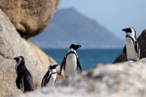 حمله زنبور های آفریقایی به 63 پنگوئن در حال انقراض!